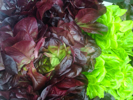 Spring lettuce greens from the farmers market